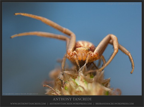 Long crab spider